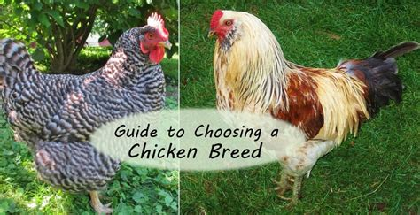 best backyard chickens guide to choosing chicken breeds the best breeds for