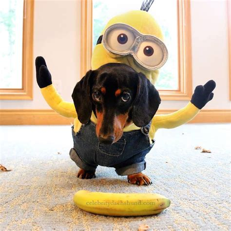 minion costumes for dogs wiener dogs take the bone for best minion costumes