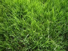 when do you overseed for a winter lawn winter grass