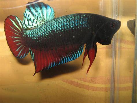 Ikan Cupang Adu Bagan cupang bagan zone