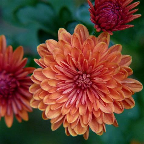 november birth flower tattoo chrysanthemum tattoos 25 best ideas about november birth flowers on pinterest