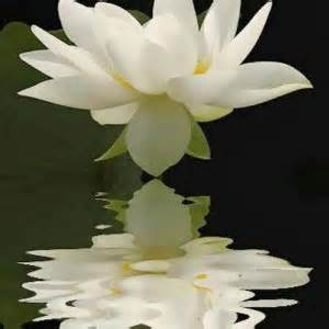 White Lotus Meaning The Lotus Flower Symbolism