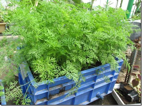 step by step instructions for growing carrots in