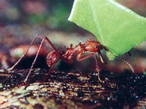 Cutter Ats leafcutter ants in costa rica
