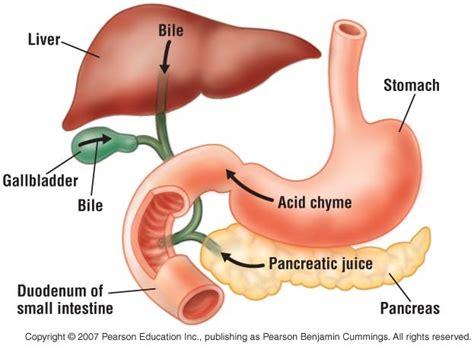 second section of small intestine 1 duodenum patrycja bandosz and emma dougherty