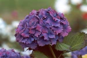 hydrangeas flowers flower homes hydrangeas flowers