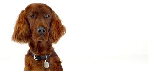 irish setter breed information irish setter dog breed information noah s dogs