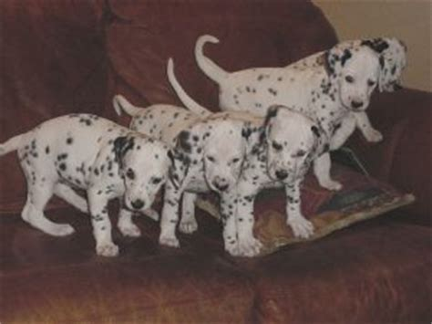 dalmatian puppies florida dalmatian puppies for sale