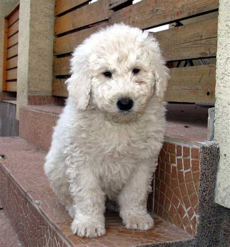 komondor puppy komondor puppy want it