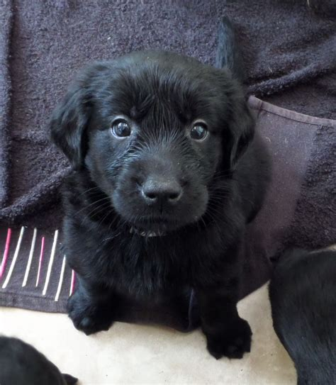 golden flat coated retriever puppies flatcoat x golden retriever pups ready 2nd august bishop auckland county durham