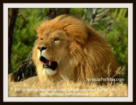 imagenes con leones cristianas imagenes de leones con frases cristianas imagui