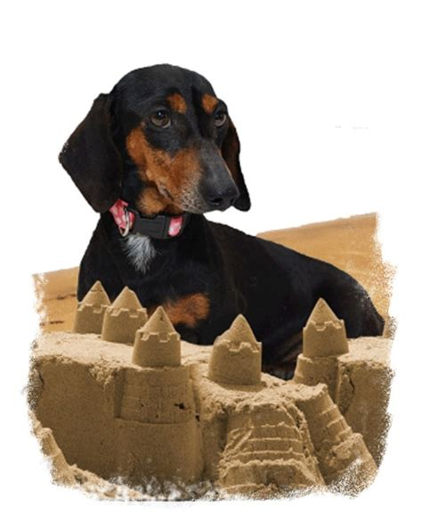 dachshund puppies ma 25 best ideas about miniature dachshund for sale on daschund puppies for