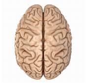Accurate Human Brain 3D Model Obj Blend  CGTradercom