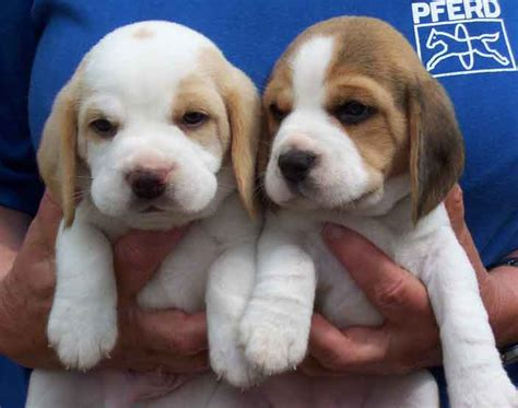 white beagle puppies beagle puppies in and white brown and white jpg 4 comments