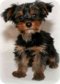 crested yorkie adopted puppy buckeye lake oh yorkie terrier crested mix