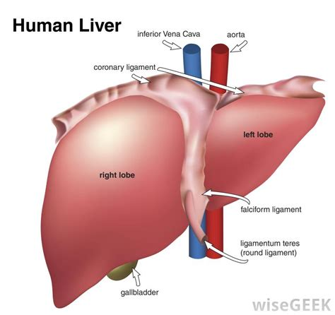 sections of the liver what is liver dialysis with pictures