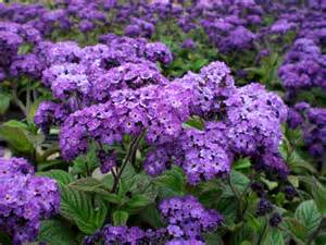 Gardening Zones In The Us - heliotrope sachet
