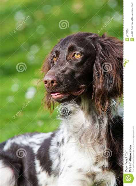 small munsterlander puppies small munsterlander stock photo image 40288641