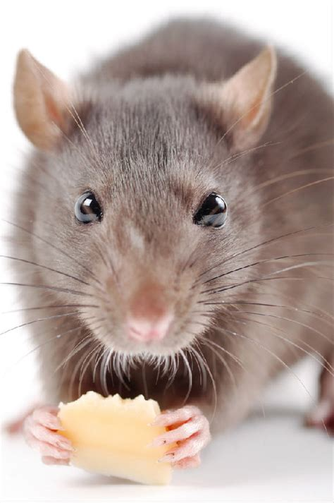 The Rats facts about rats