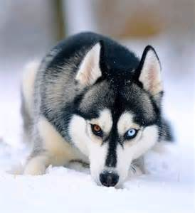 husky eye color 1000 images about heterochromia on eye color