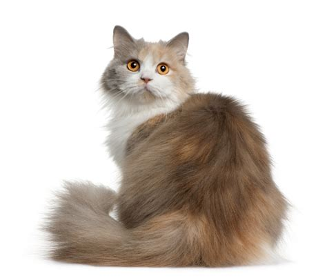 Types Of Haired Cats by Image Gallery Hair Cat Breeds