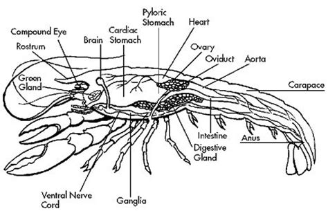 Crayfish Anatomy Internal Anatomy Guides Pinterest B