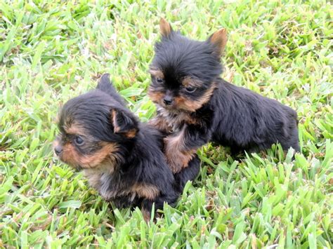 yorkie puppies delaware the happy woofer terrier delaware breeder puppies for sale