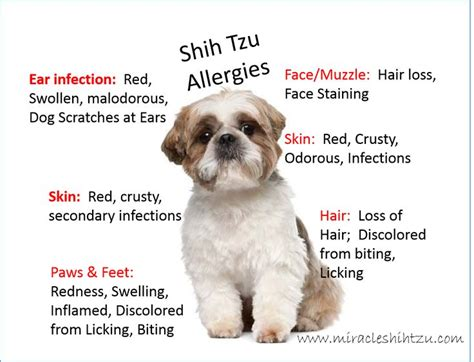 how do you say shih tzu best 25 shih tzu ideas on