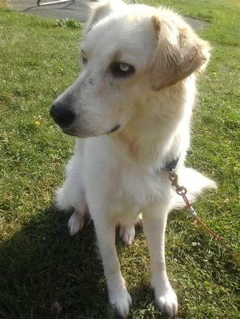 huskey golden retriever mix 1000 images about if i only had a on originals labrador mix and labs