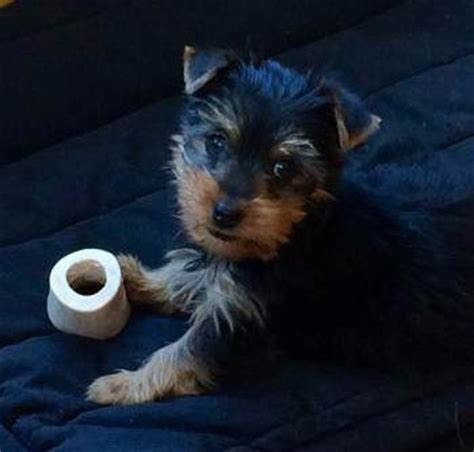 12 week yorkie puppy yorkie puppy care terrier information center