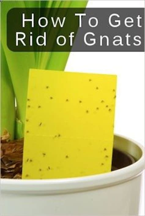 how to get rid of gnats in your house tips for getting rid of gnats garden pinterest