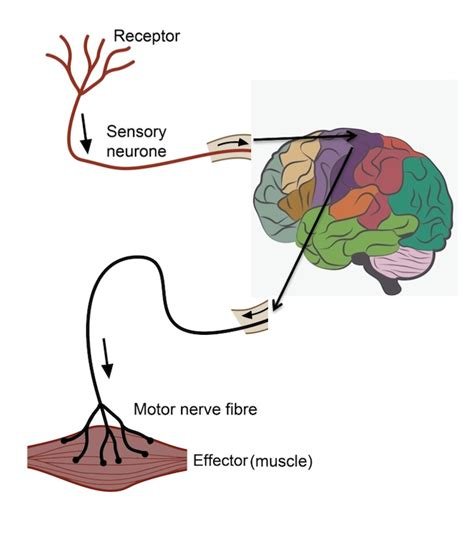 motor efferent learn about fight or flight parasympthetic nervous system