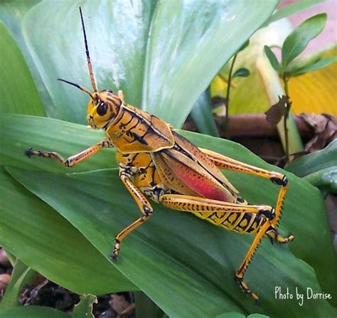 colorful grasshopper colorful grasshopper butterflys and other cool bugs
