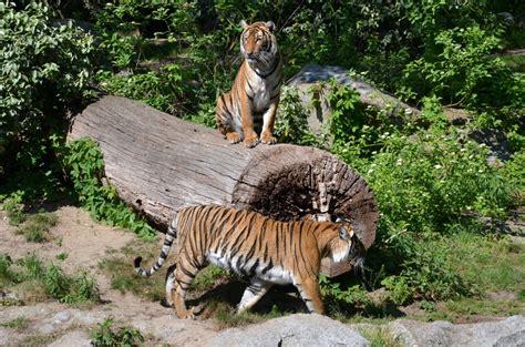 berlin zoo 2014 hinterindischetiger zoo berlin 28 04 2014 tier fotos eu
