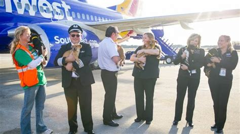 southwest airlines dogs southwest airlines flies 62 dogs and cats out of for adoption in us fox news