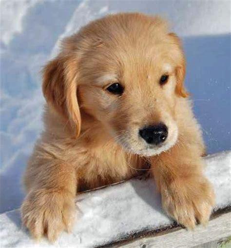 golden retriever puppy in snow golden retriever puppies in the snow www proteckmachinery