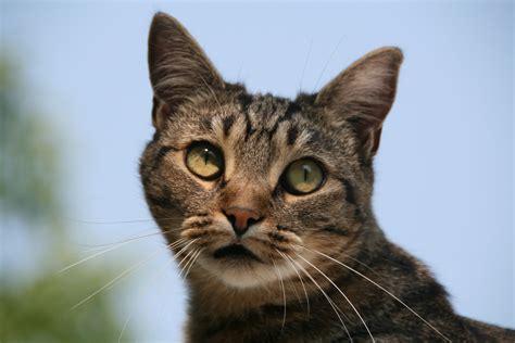 shorthair cat european shorthair