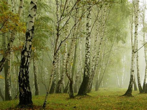 birch forest pixdaus