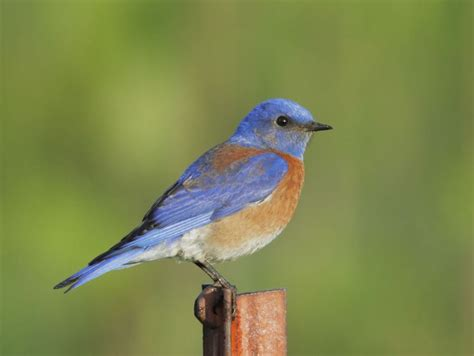 western bluebird male photo tom grey photos at pbase com