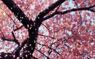 japanese blossom tree tokyo 2020 amwf couple