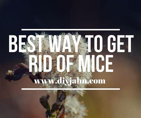 best way to get rid of mice essential oils diy jahn