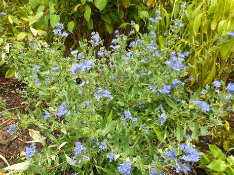 shrub blue flowers a year in the garden ground