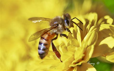 Jaket Honey Bee 2 insects photo gallery featuring macro photos of a variety