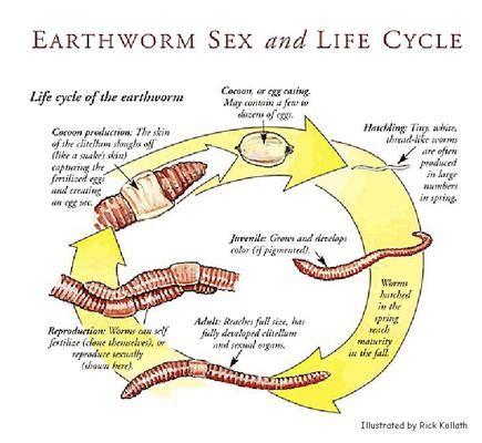 earthworm cycle diagram image gallery hirudo medicinalis cycle