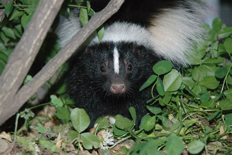 skunk in my backyard four ways to keep cats safe from skunks catster