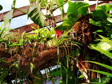 anthurium anthurium species how to grow an anthurium