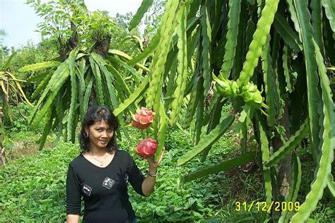 Bibit Pohon Buah Naga pohon buah naga related keywords suggestions pohon