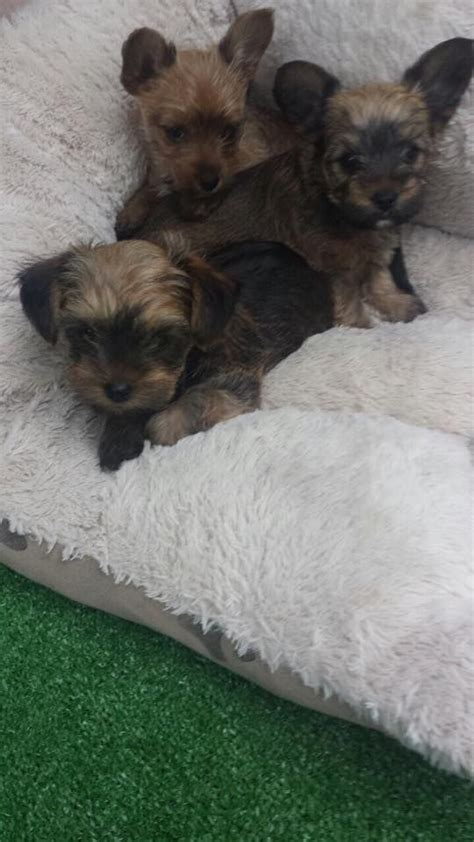 shih tzu puppies for sale scotland area teacup puppies for sale uk west midlands breeds picture