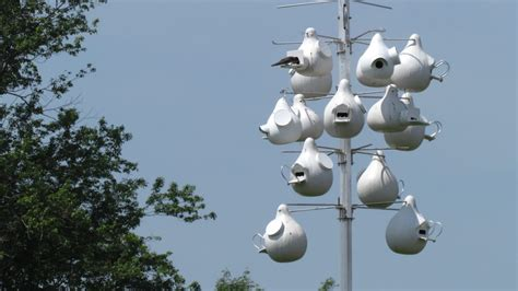 purple martins make a local comeback highlands current