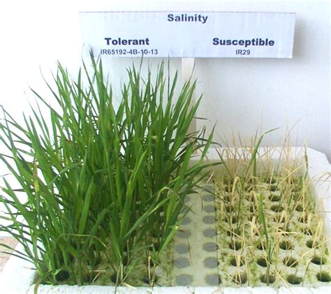 salt ls and plants improve the abiotic stress tolerance of plants using genomics